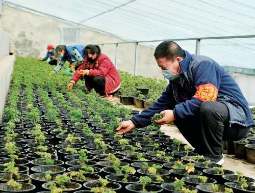 北京延庆区:香草产业园里育苗忙