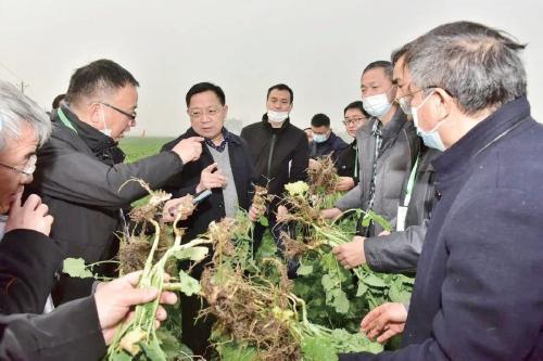 华中农大培育出抗根肿病油菜新品种
