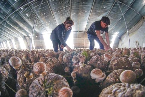 河北遵化:香菇开辟品牌农业致富路