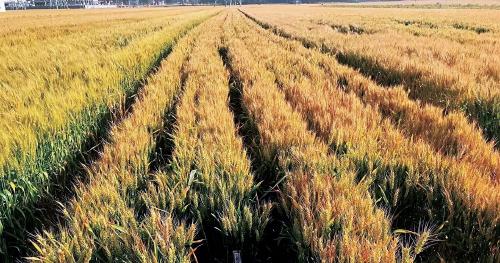 """优质麦:好品种何以""""长""""出好效益"""